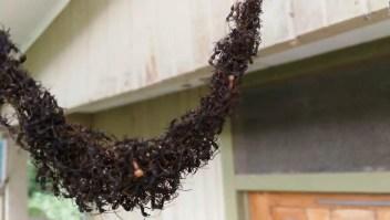 Hormigas guerreras forman un puente con sus cuerpos