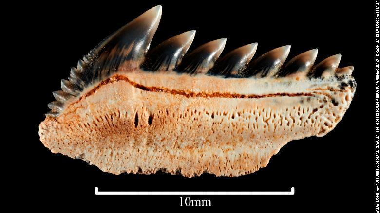 Hexanchus agassiz, fossilised lower shark tooth. Registration no. P 253894.3