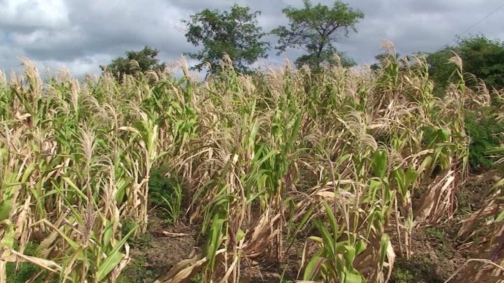 La sequía golpea a los agricultores en Honduras