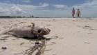 Peces muertos y hedor: así sufren la marea roja en la Florida