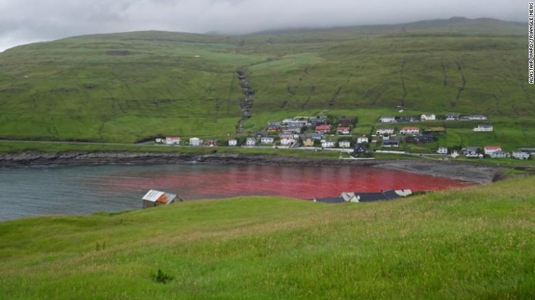 El agua en la cala donde ocurrió la caza de ballenas se ve roja por la sangre de los animales cazados.