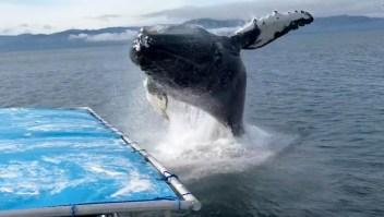 Una ballena jorobada salta muy cerca de un bote