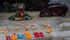 #LaImagenDelDía: celebran el cumpleaños del hipopótamo más longevo de Tailandia
