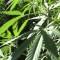¿Qué tan cerca está  la legalización  de la marihuana en Colombia?
