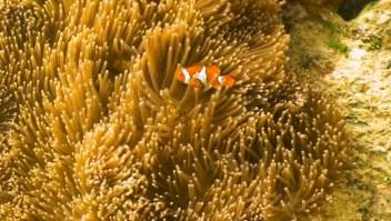"""""""Salvando a Nemo"""": ¿cómo proteger a los peces payaso?"""