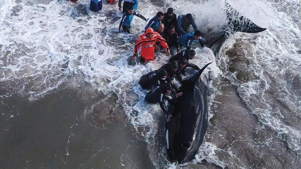 Así volvieron las orcas a casa