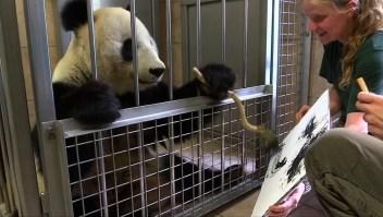 #ElDatoDeHoy: oso panda convertido en artista plástico