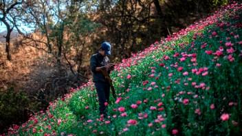 Un miembro de la Policía de Guerrero en una plantación de amapola. (Crédito: PEDRO PARDO/AFP/Getty Images)
