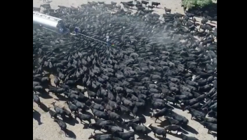 Sequía en australia hace que decenas de vacas vayan a por agua