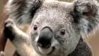 #LaImagenDelDía: ¿podrían desaparecer los koalas en Australia?