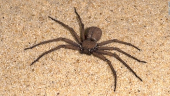 K0EDTJ Sand Spider, Sicarius terrosus, Sequence 1 of burying in sand, also called six-eyed sand spider of southern Africa, six eyes arranged in three groups