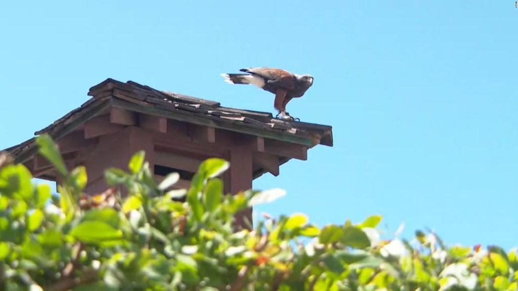 Este halcón es el guardia de seguridad aéreo de un hotel
