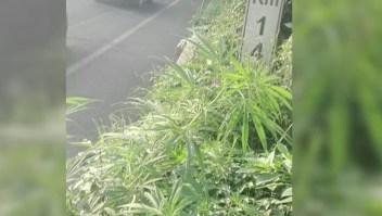 Marihuana crece en la vía pública