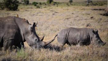 China revierte prohibición de comercializar productos de tigre y rinoceronte