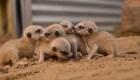 #LaImagenDelDía: tiernas imágenes de suricatos recién nacidos