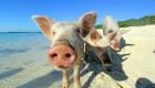Imperdible: Una playa llena de cerdos felices nadando