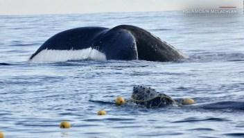 Liberan a esta cría de ballena jorobada