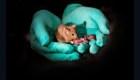Experimento chino produce ratones de dos madres