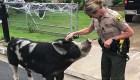 Una policía usa doritos para atrapar a un cerdo