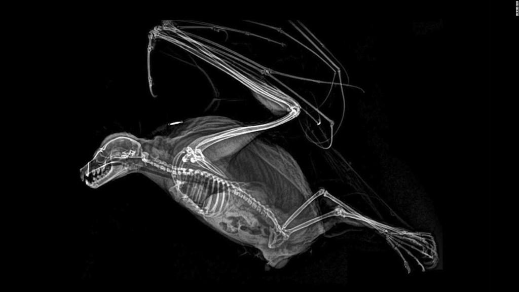 Curiosas imágenes de rayos X revelan detalles de animales exóticos