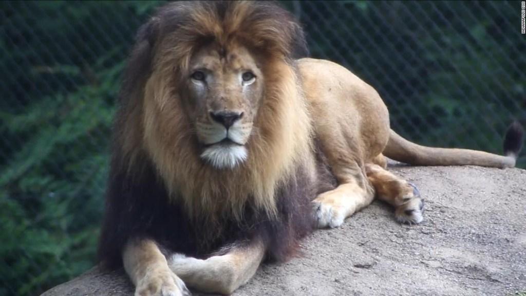 El león Nyack, del zoo de Indianápolis.