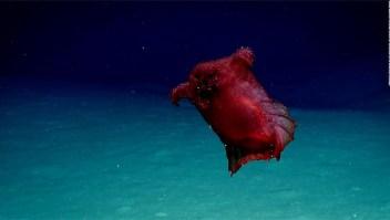 """Graban por primera vez al """"monstruo del pollo sin cabeza"""" en el océano Antártico"""
