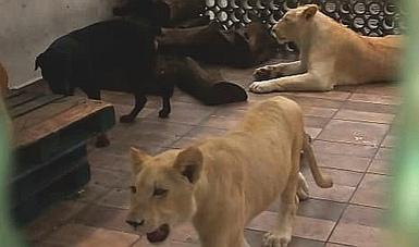 Los leones, de un año y medio de vida, viven en una azotea en Ciudad de México.