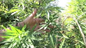 Así se regularía el uso de la marihuana en México