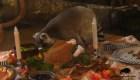 Lémures celebran el Día de Acción de Gracias en miniatura