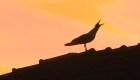 Roma manda halcones al asecho de miles de estorninos