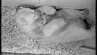 Un osito polar nace en un zoológico de Berlín