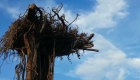Tailandia exhibe árboles sembrados al revés