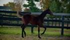 Saddlebred, una raza ecuestre 100% estadounidense