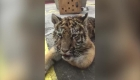 Decomisan a pequeña tigresa en un restaurante en México
