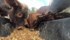 ¿Por qué perjudica el ganado al medio ambiente?