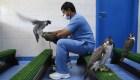 En Abu Dhabi el hospital para halcones más grande del mundo