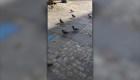 #ElDatoDeHoy: trasladarán de lugar a más de 5.000 palomas