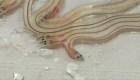 Confiscan en Tailandia más de un millón de anguilas en peligro de extinción