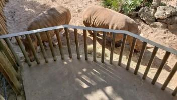 Una niño cayó en una exhibición de rinocerontes y resultó herida