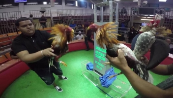 Prohibición de peleas de gallos afectaría a familias enteras en Puerto Rico