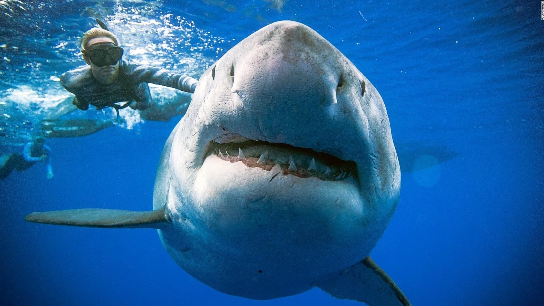 Video registró a un tiburón blanco nadando con buzos