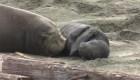 Los elefantes marinos ganaron con el cierre del gobierno