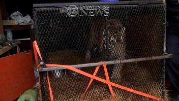 Halló un tigre abandonado en un casa de Houston