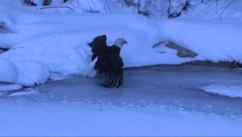 Águila calva atascada por una bola de hielo