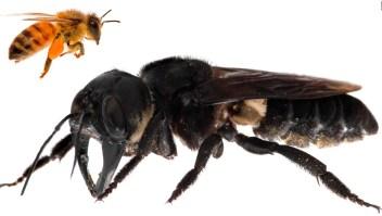 Esta enorme abeja fue redescubierta en Indonesia