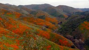 Un superflorecimiento inunda de amapolas naranjas el sur de California