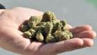 Hacen crecer marihuana sin plantas