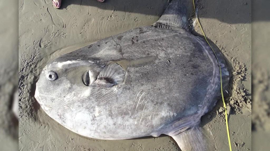 Un extraño pez apareció en una playa de California