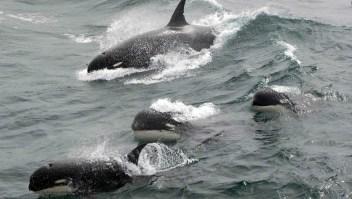 Mira esta extraña especie de orcas