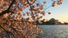 El florecimiento de los cerezos en Washington
